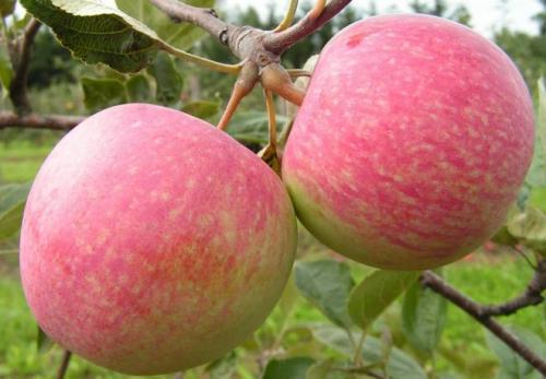 Яблоки Штрифель описание. Описание сорта яблони Штрифель