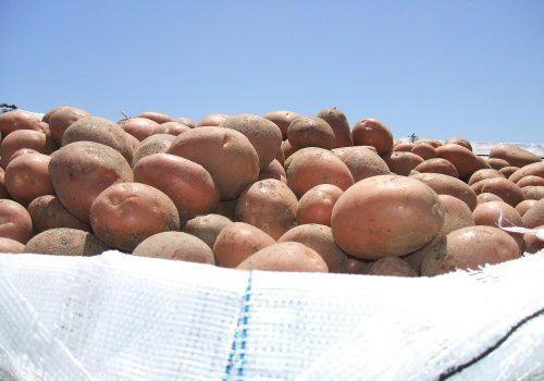 Картошка Беллароза описание сорта. Сорт картофеля Беллароза