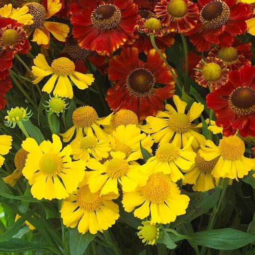 Гелениум гибридный посадка и уход. Маленькие солнышки гелениума в сентябрьском цветнике