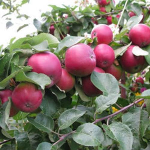 Штрифель или штрейфлинг. Особенности дерева и плодов