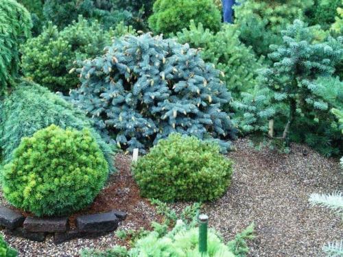 Хвойное растение с красными цветами и шишками. Лучшие хвойные растения для сада — статья которая поможет вам красиво скомбинировать растительность, виды и названия растений в обзоре!