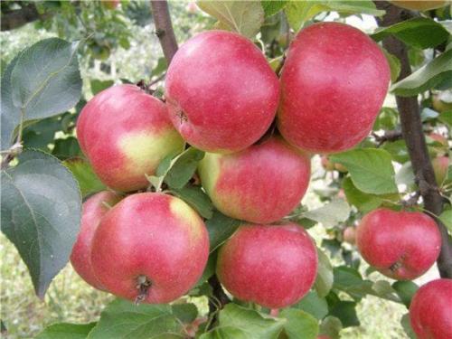 Яблоня жигулевская красавица. Описание и характеристика сорта яблони Жигулевское