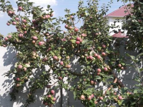 Лобо сорт яблони. Описание яблони Лобо