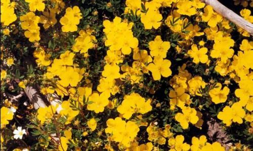 Посадка лапчатки кустарниковой осенью. Ботаническое описание