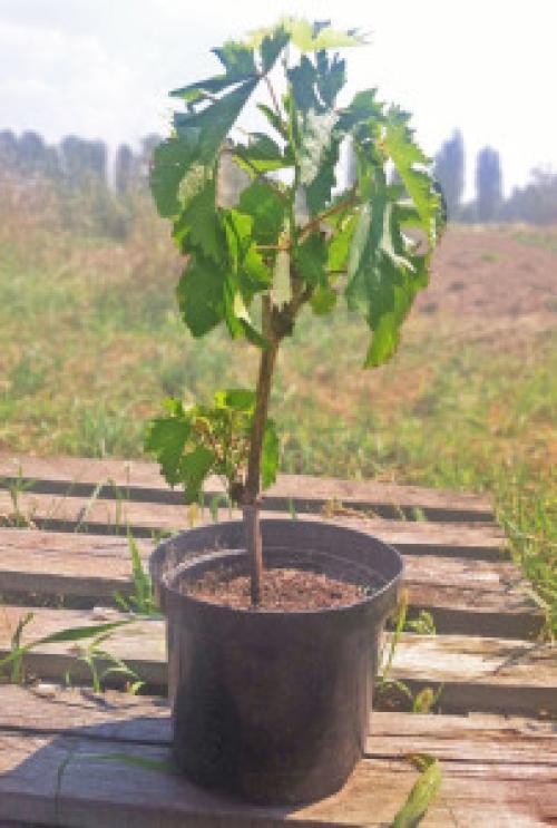 Когда лучше садить саженцы винограда весной или осенью. Время посадки венетирующего саженца винограда