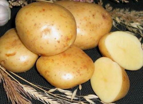 Сорт картофеля Гала. Описание сорта картофеля Гала