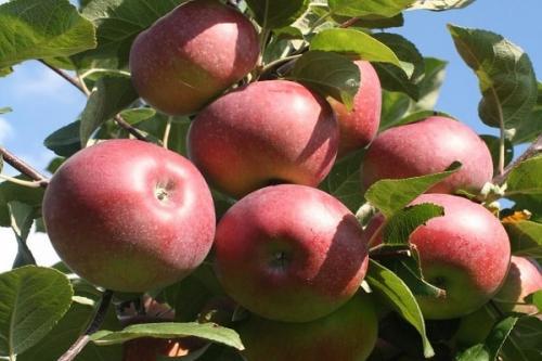 Лобо сорт яблок. Характеристика и описание сорта