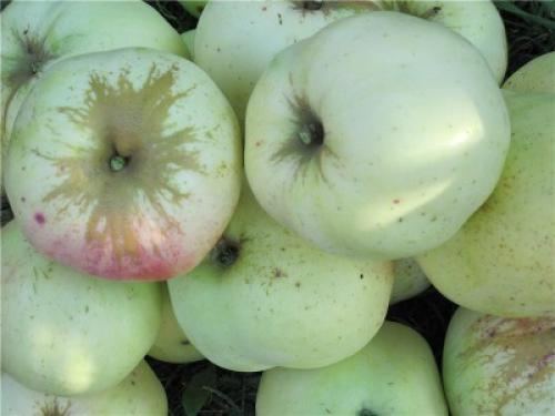 Яблони сорта Антоновка. Описание сорта Антоновка Десертная