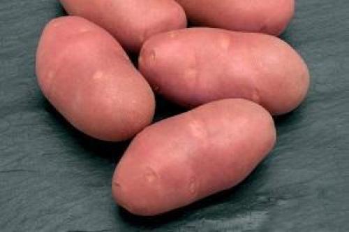 Розара сорта картофеля. Выращивание и уход