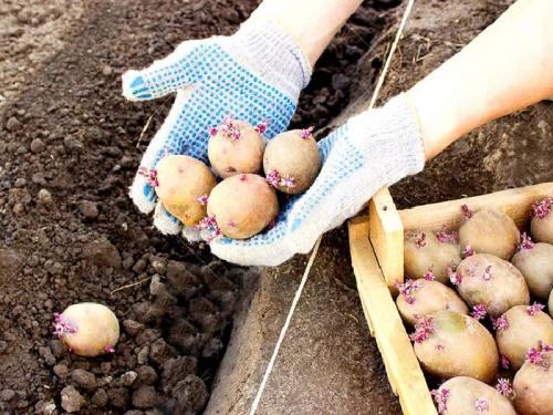 Удобрение для картофеля при посадке в лунку. Какие удобрения нужны для картофеля при посадке в лунку весной, чтобы получить хороший урожай?