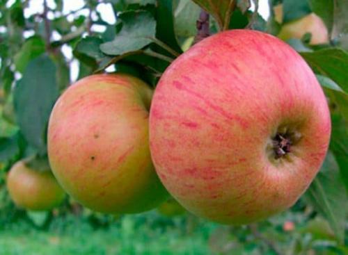 Сорт яблони медуница. Характеристика сорта