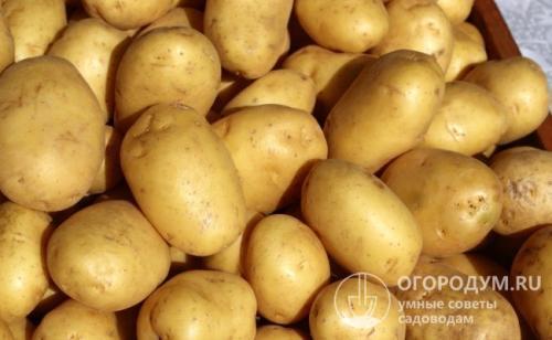 Картофель удача характеристика сорта. Характеристики клубней