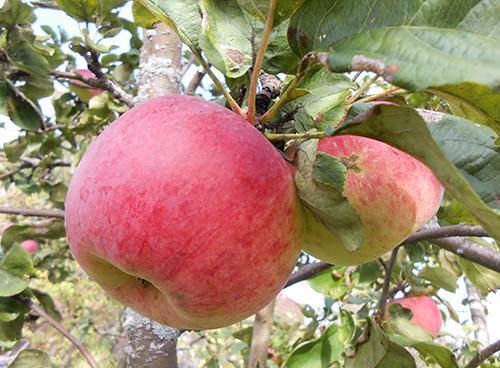 Сорт Конфетное яблоня описание. Сорт яблони Конфетное
