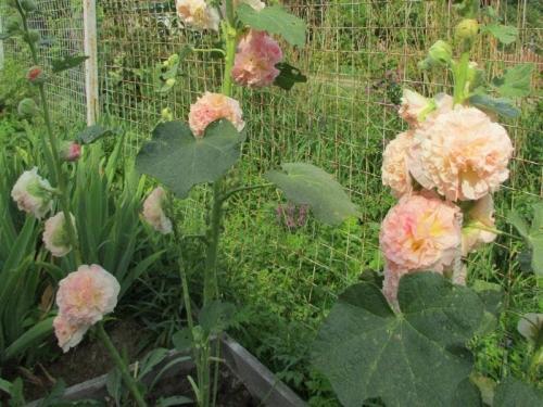 Шток роза уход. Выращивание мальвы через посев семян в открытый грунт