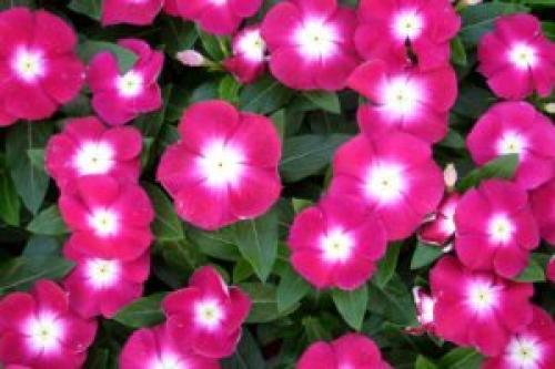 Цветок садовый барвинок. Барвинок: посадка и уход в открытом грунте, фото