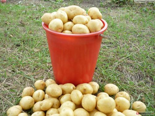 Вкусовые качества картофеля сорт гала. Особенности сорта