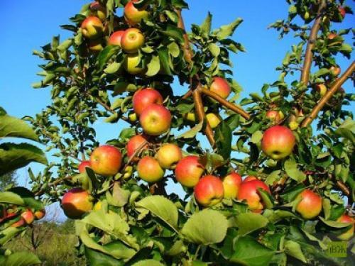 Жигулевское сорт яблок описание. Описание сорта Жигулевский