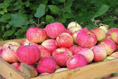 Штрифель сорт яблок. Яблоня Штрифель: описание сорта