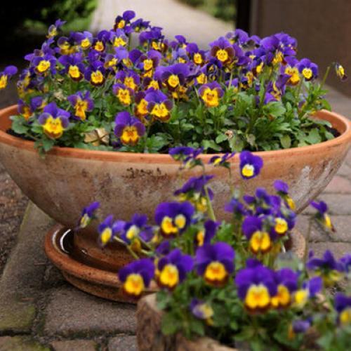 Низкорослые сорта цветов для клумбы. Однолетние низкорослые цветы.