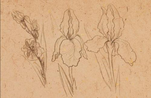 Ирис цветок рисунок. Как нарисовать цветущий ирис