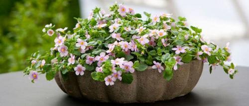 Бакопа выращивание и уход. Бакопа: выращивание из семян, фото, когда сажать в домашних условиях