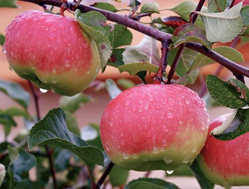 Сорт яблонь Богатырь. Сорт яблони Богатырь