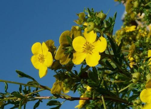 Лапчатка кустарниковая размножение и уход. Лапчатка кустарниковая уход и выращивание в условиях дачного сада довольно простые