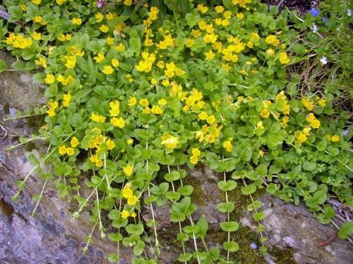 Многолетние цветы почвопокровники. 23 лучших почвопокровных многолетника