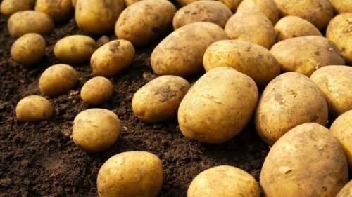 Картофель ривьера. Сорт картофеля Ривьера: растет при любых климатических условиях