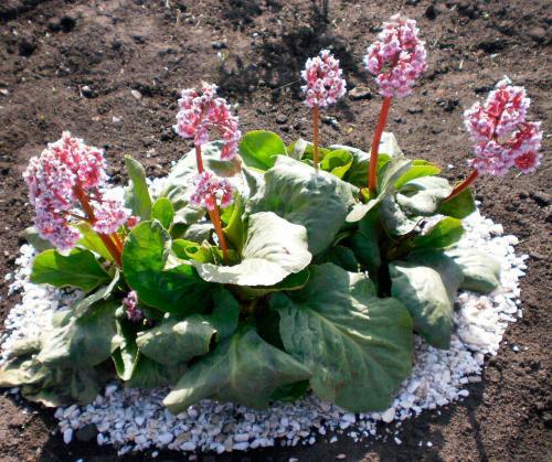 Бадан цветок посадка и уход. Описание растения Бадан
