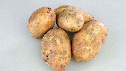Картофель славянка. Среднеспелый сорт картофеля «Славянка» с крупными клубнями