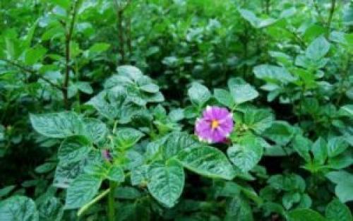 Картофель сорт Беллароза описание. Описание сорта картофеля Беллароза