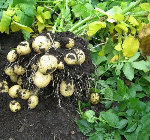 Описание картофеля сорта Гала. Сорт картофеля Гала — основные характеристики