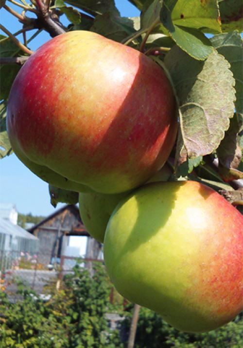 Жигулевская сорт яблони. Сорт яблони Жигулевское