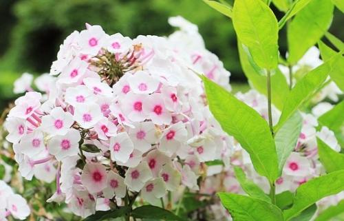 Цветок многолетний флокс. Флоксы: посадка и размножение
