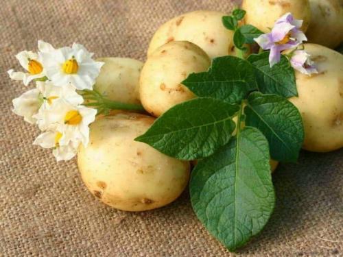 Сорта картофеля по алфавиту с описанием и фото