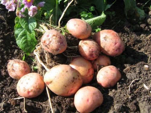 Ранний сорт картофеля Жуковский. Описание сорта Жуковский
