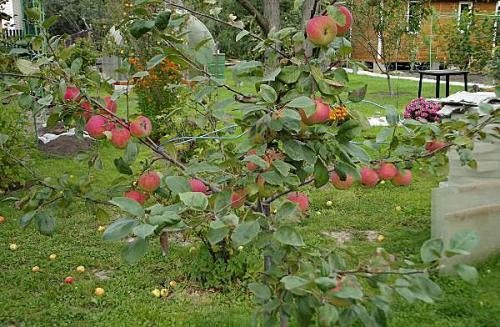 Яблоня конфетное дерево. Сладкий август в вашем саду: яблоня сорта «Конфетное»