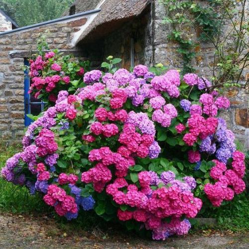 Гортензия садовая посадка осенью и уход в открытом грунте. Высаживание гортензии в открытый грунт
