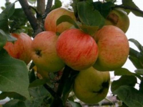 Яблони сорт коричное полосатое. Характеристика
