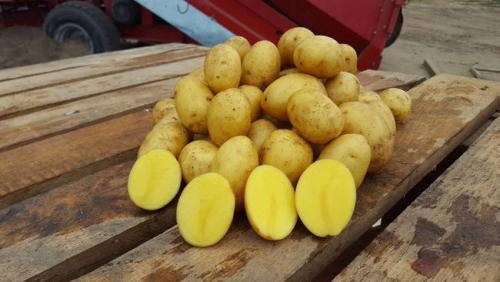 Характеристики картофель Гала. Характеристика картофеля