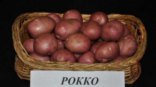 Рокко картофель описание. Высокоурожайный сорт картофеля «Роко», идеально подходящий для варки и запекания