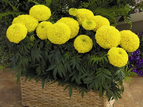 Низкорослые неприхотливые цветы.  Однолетние низкорослые растения