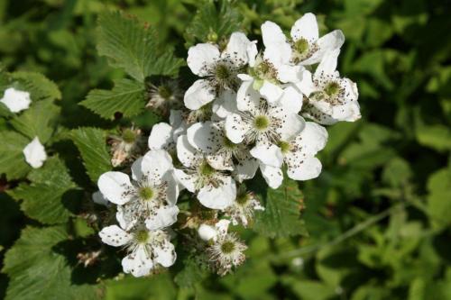 Уход и выращивание ежевики садовой. Уход в зависимости от сорта
