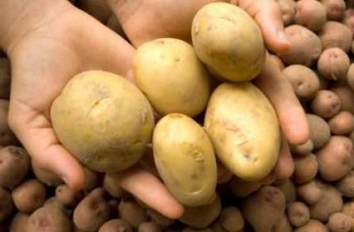 Сорт картофеля джувел. Картофель «Джувел»: характеристика сорта