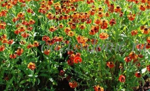 Цветы гелениум посадка и уход. Цветок гелениум: фото, посадка