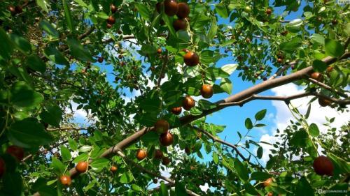 Плоды унаби польза. Где растет и как выглядит