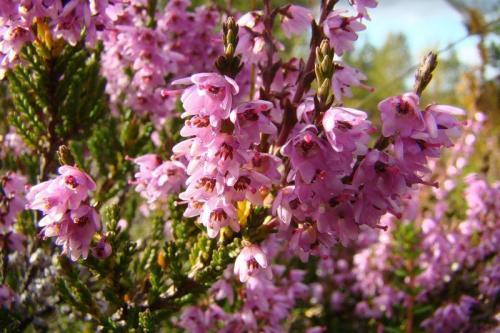 Растение вереск уход. Вереск обыкновенный, посадка и уход в домашних условиях