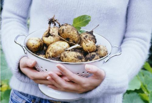 Сорт картошки беллароза. Описание сорта, его происхождение и особенности роста