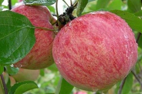 Яблоня коричное полосатое новое. Описание сорта Коричный новый